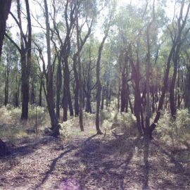 Ironbark forest in Chiltern-Mt Pilot National Park